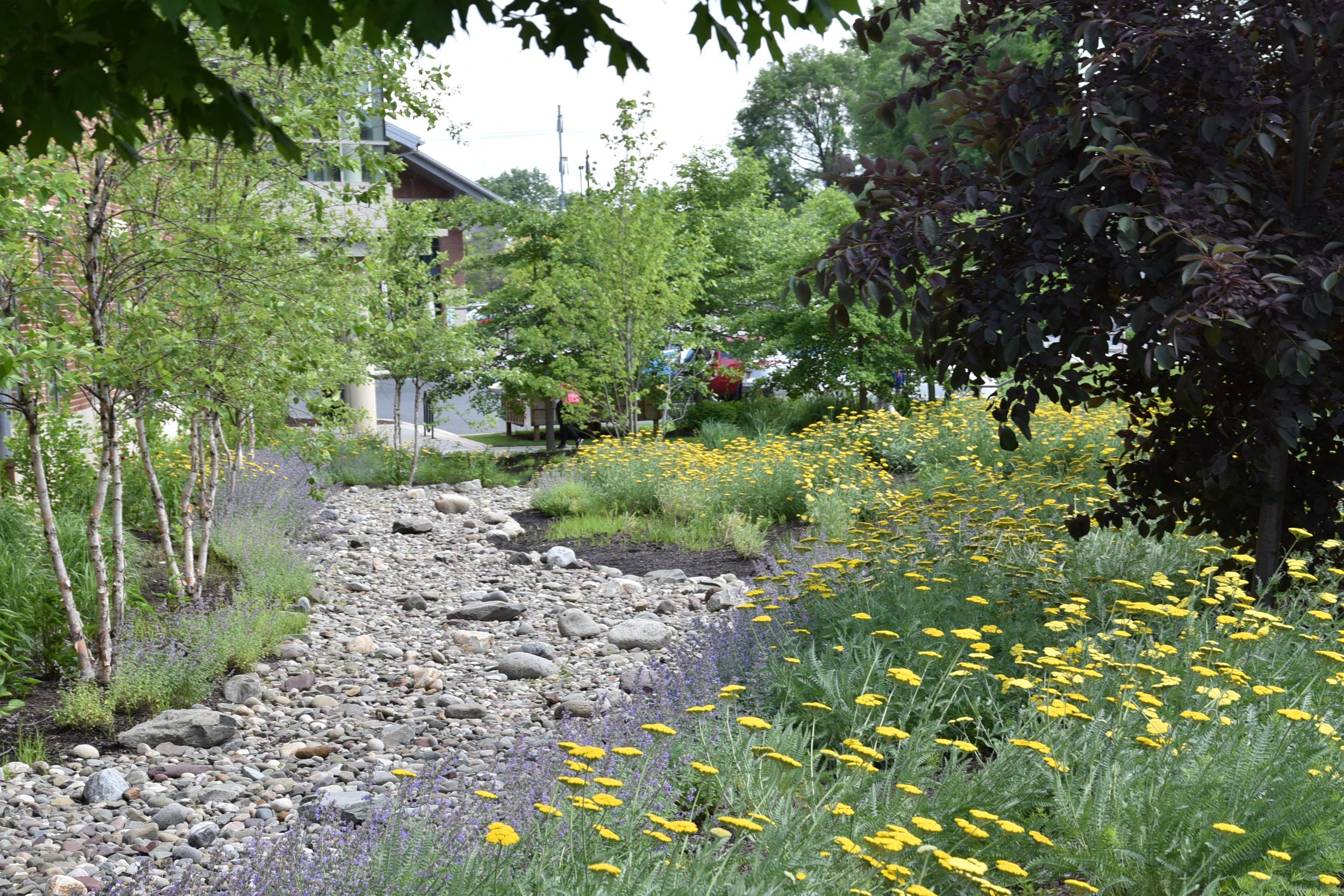 We transformed a lawn detenion basin into a dry creek bed and rain garden with pollinator species and grasses to improve water quality entering the basin.